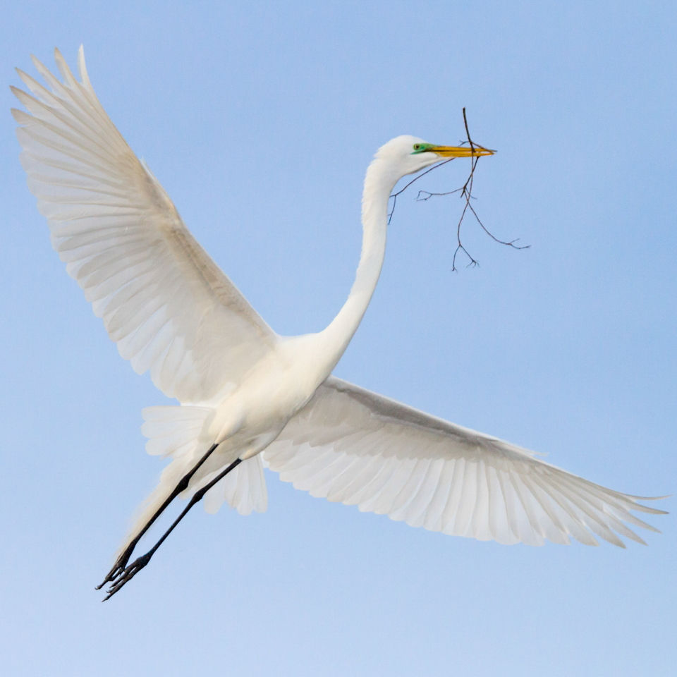 Great Egret - Photo Patricia A O'Keefe