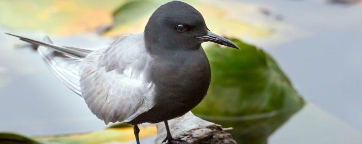 Black Tern - Photo Mick Thompson