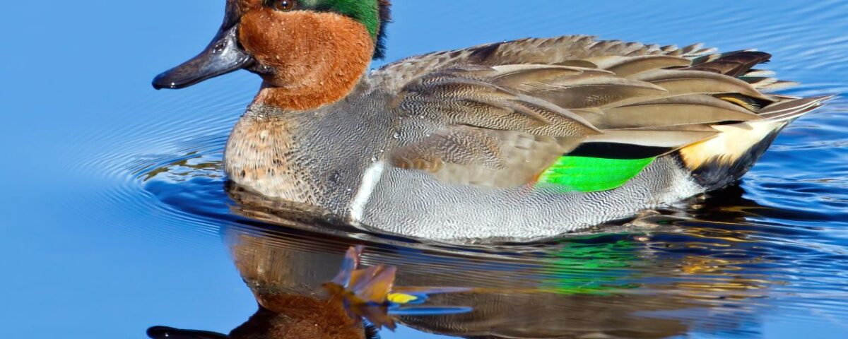 Green-winged Teal - Photo Mick Thompson