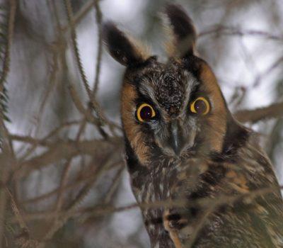 Long-eared Owl - Photo Earl Harrison